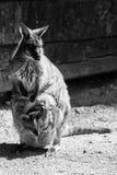 Kangaroo black and white animals portraits Royalty Free Stock Photo