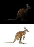 Kangaroo on black and white background Royalty Free Stock Image