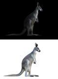 Kangaroo on black and white background Royalty Free Stock Images