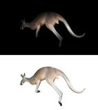 Kangaroo on black and white background. Kangaroo isolated and kangaroo in the dark Stock Photography