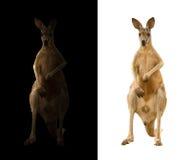Kangaroo on black and white background. Kangaroo isolated and kangaroo in the dark Stock Photo