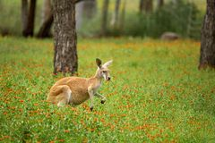 Red kangaroo eating amid the wildflowers. A kangaroo with black and white markings on its face - the trademark of a red kangaroo  macropus rufus. It has some of Royalty Free Stock Image