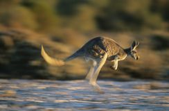 Kangaroo bouncing through desert Stock Image