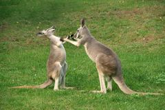 Kangaroo boxing stock images