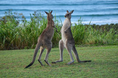 Kangaroo boxing Royalty Free Stock Photography