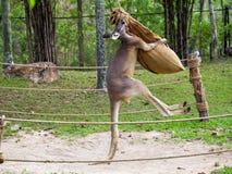 Kangaroo boxing in thailand. royalty free stock image