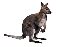 Kangaroo brown isolated at white Stock Photography