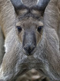 Kangaroo Stock Photo