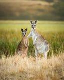 Playing kangaroo Stock Photo