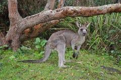 Kangaroo in the bush Royalty Free Stock Photos