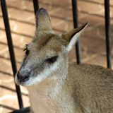Kangaroo in cage Royalty Free Stock Photography