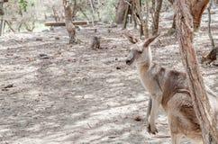 Kangaroo Camouflage Royalty Free Stock Photos