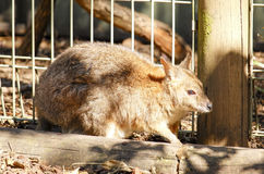 Kangaroo in captivity at New South Wales, Australia. Royalty Free Stock Photos