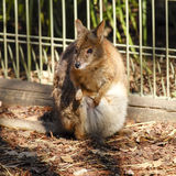 Kangaroo in captivity at New South Wales, Australia. Royalty Free Stock Photography