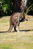 Kangaroo checking crotch part 2 Royalty Free Stock Photography