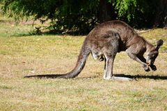 Kangaroo checking crotch part 5 Royalty Free Stock Photos