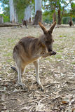 Kangaroo chewing on stick Royalty Free Stock Image
