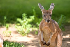 Kangaroo in the clearing, portrait Royalty Free Stock Images
