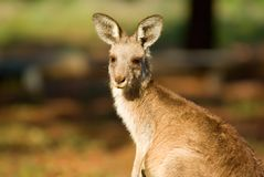 Kangaroo close up Royalty Free Stock Photos
