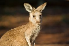 Kangaroo close up Stock Photos