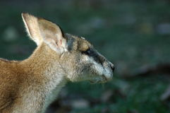 Kangaroo close up Stock Images