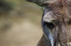 Kangaroo close-up Royalty Free Stock Photo