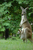 Kangaroo And Company Stock Photography