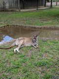 Kangaroo Cool Royalty Free Stock Image