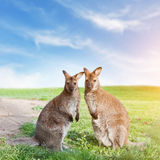 Kangaroo couple standing, looking at the camera. Australia Royalty Free Stock Images