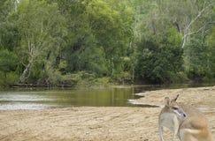 Kangaroo by the creek Royalty Free Stock Photo