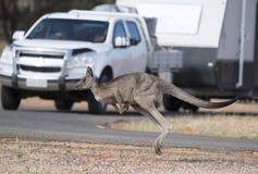 Kangaroo crossing road Royalty Free Stock Photography