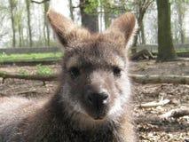 Kangaroo. Cute face of the kangaroo Royalty Free Stock Photos