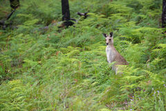 Kangaroo. Cute kangaroo standing in the Australian bush bracken Royalty Free Stock Image