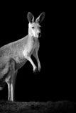 Kangaroo on dark background Royalty Free Stock Image