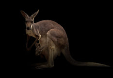 Kangaroo in the dark Stock Images