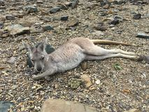 Kangaroo on Daydream Island. A baby Kangaroo sunbathing on Daydream Island, a part of the Whitsundays Royalty Free Stock Images