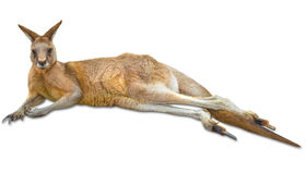 Kangaroo down stock images