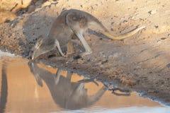 Kangaroo drinking Stock Photos