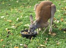 Kangaroo Eating Stock Image