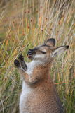 Kangaroo Eating Stock Images