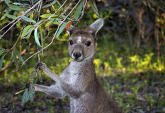 Kangaroo eating. Cute young Kangaroo eating leaves Stock Images