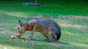 Kangaroo Eating Food from the Ground Stock Photos