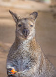 Kangaroo eating fruit Royalty Free Stock Images