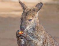 Kangaroo eating fruit. On a field Stock Image