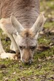 Kangaroo eating grass Royalty Free Stock Image