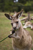 Kangaroo eating grass Stock Image