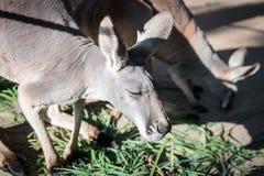 Kangaroo eating grass Stock Photo