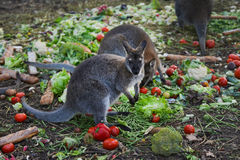 Kangaroo eating vegetables Royalty Free Stock Photography