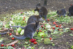 Kangaroo eating vegetables Stock Images