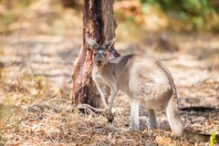 Kangaroo eating Stock Photography